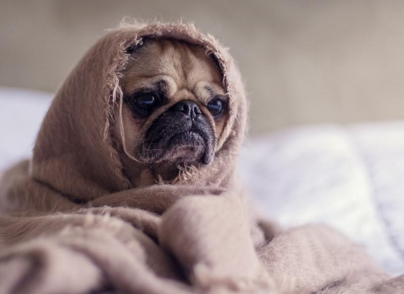 毛布に包まっている犬