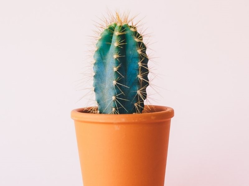 植木鉢に入ったサボテン