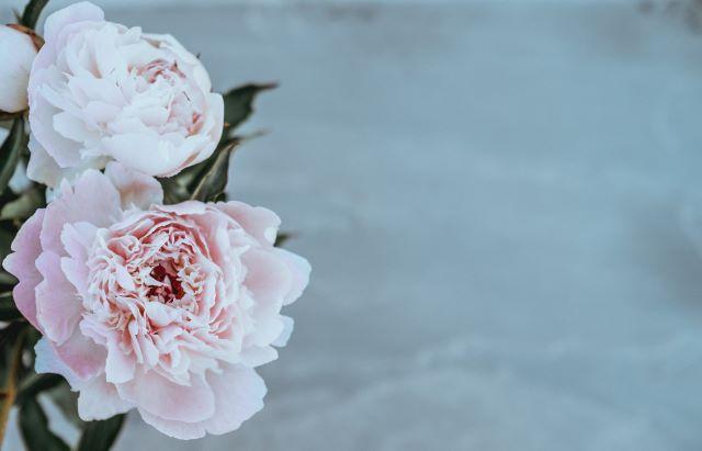 白い壁の背景にキレイな淡いピンクのピオニーの花