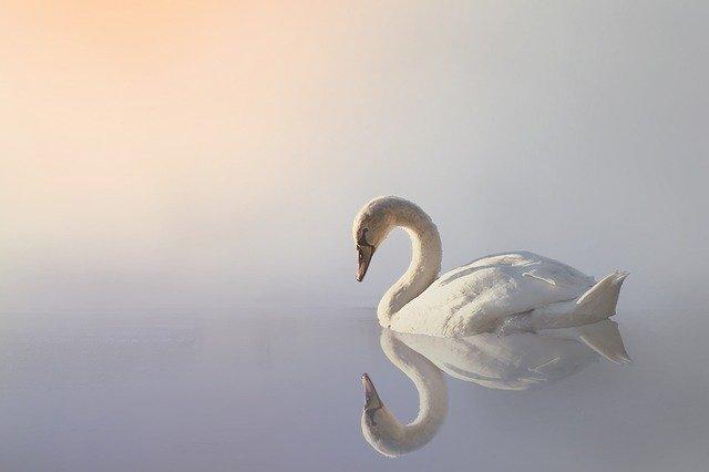白鳥が水の上を泳いでいる写真