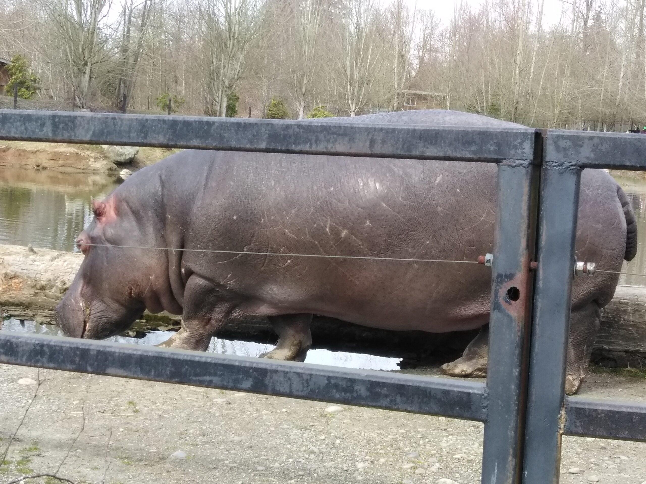 バンクーバー動物園のカバの写真